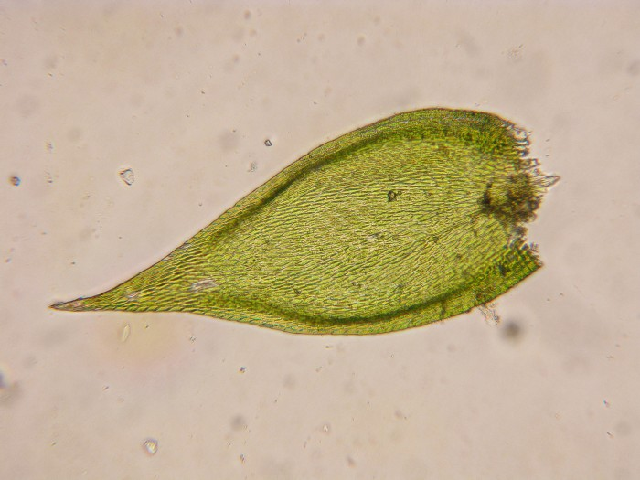 Platygyrium repens photo by Bob Klips