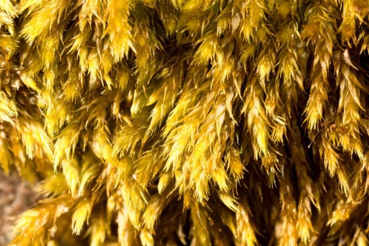 Platygyrium repens gametophytes photo by Bob Klips