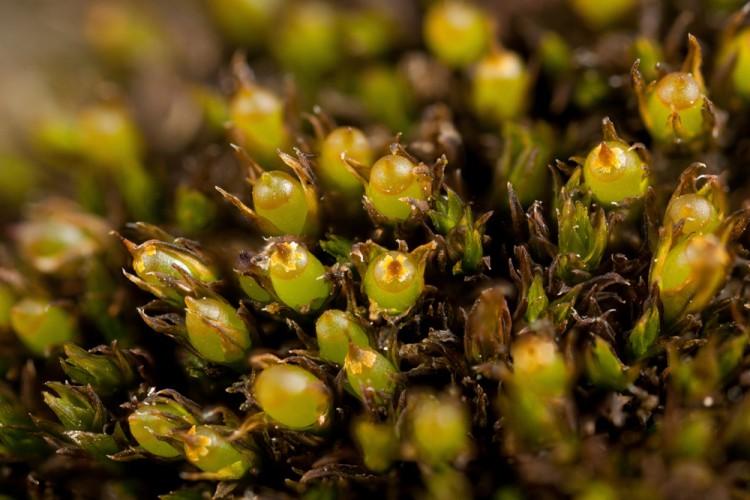 Schistidium apocarpum photo by Bob Klips