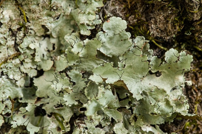 OMLA Columbiana-Parmotrema-hypotropum