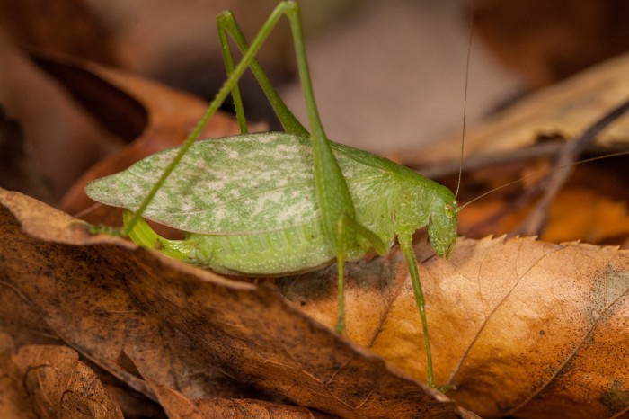 OMLA Columbiana-broad-winged-bush-katydid