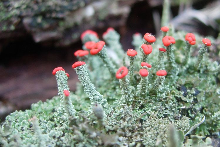 Cladonia didyma photo by Mark Zloba