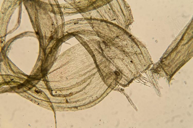Ptilium crista-castrensis leaf