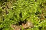 Ctenedium molluscum