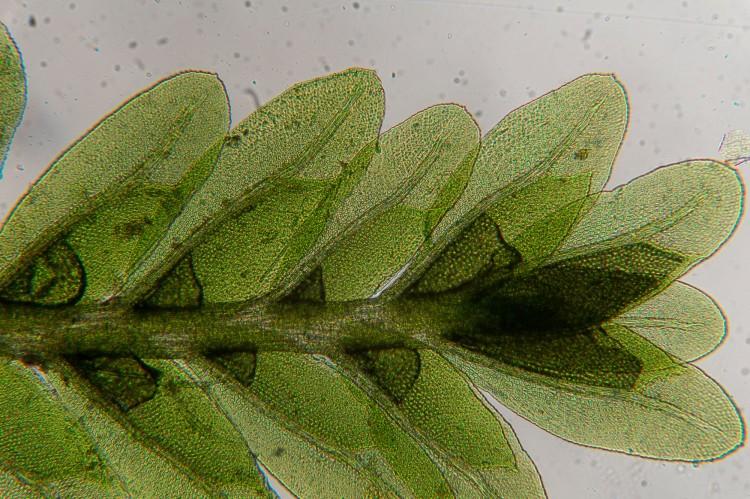 Fissidens obtusifolius-2