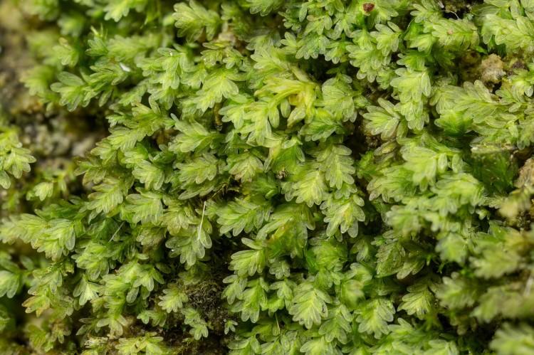 Fissidens obtusifolius