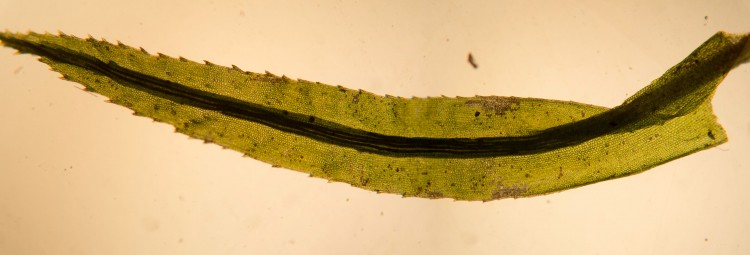 Atrichum altecristatum leaf