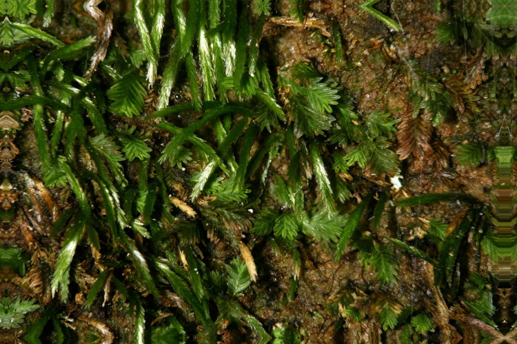 Brypoxiphium norvegicum photo by Bob Klips