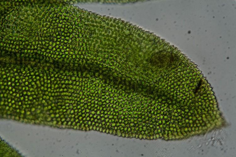 Fissidens subbasilaris photo by Bob Klips