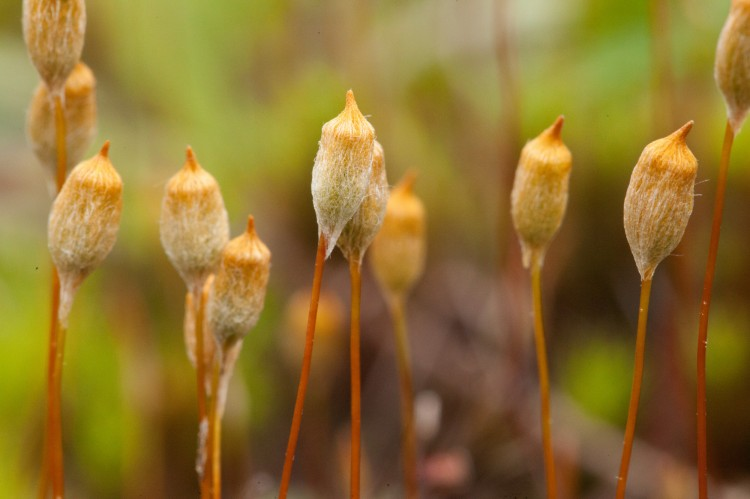 Polytrichum commune photo by Bob Klips