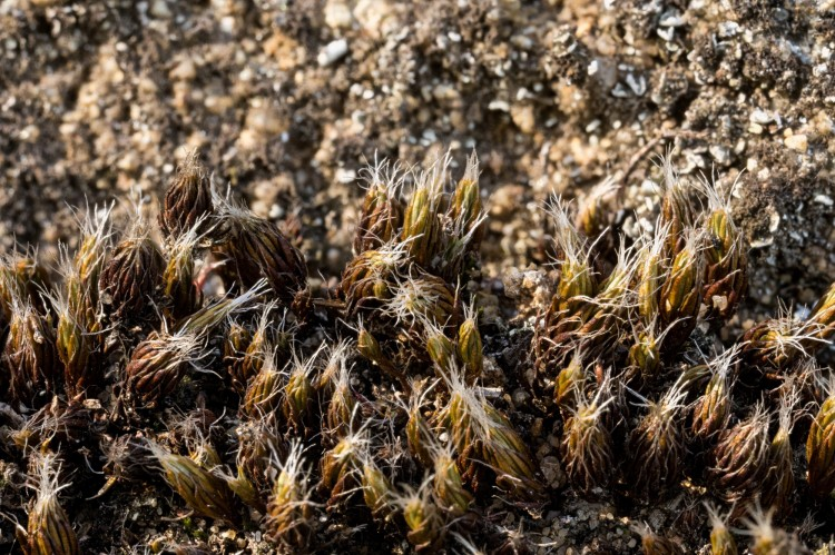 Polytrichum piliferum photo by Bob Klips