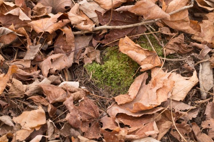 Rhynchostegium serrulatum photo by Bob Klips