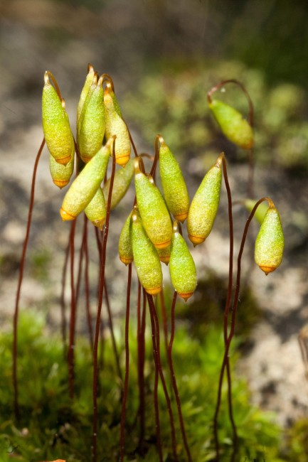 Bryum caespiticium photo by Bob Klips