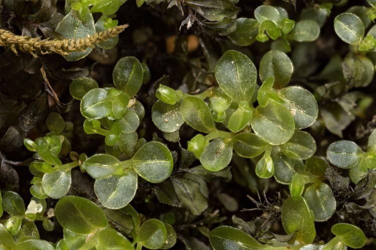 Rhizomnium punctatum photo by Bob Klips