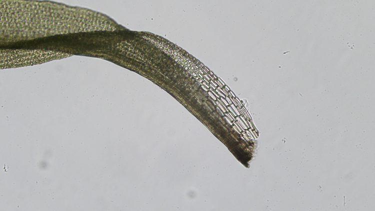 Oxystegus tenuirostris-4
