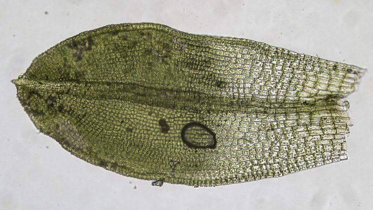 Tortula obtusifolia-3