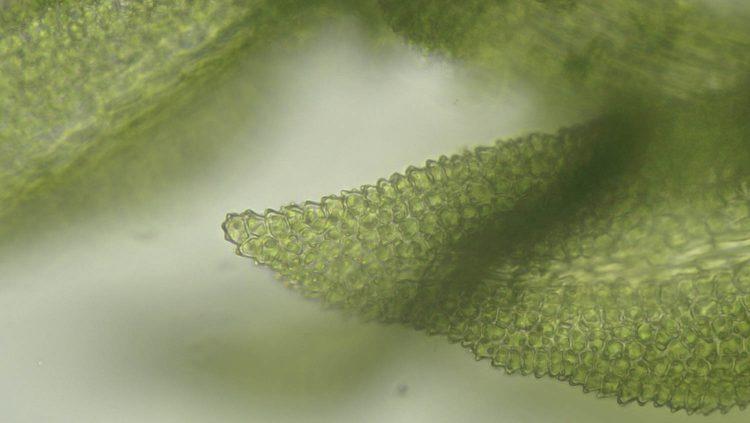 Cyrto-hypnum pygmaeum-4