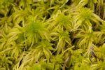 Sphagnum fimbriatum