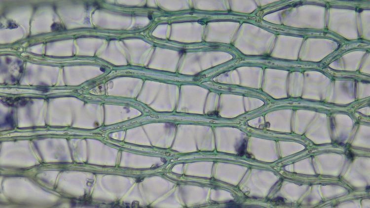 Sphagnum fimbriatum branch leaf cells.