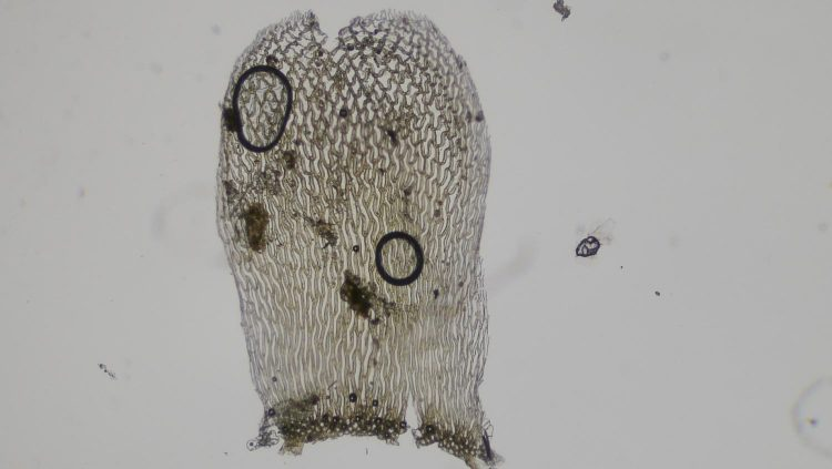 Sphagnum palustre-2