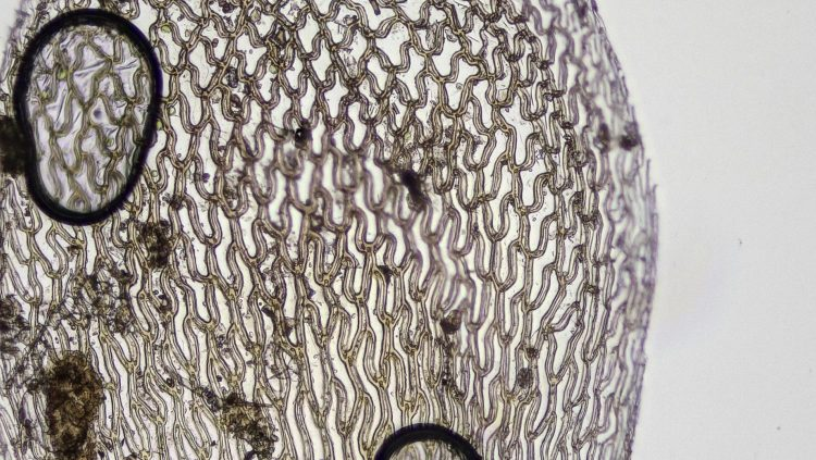 Sphagnum palustre-7