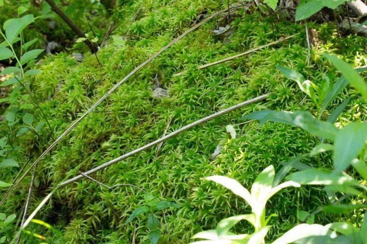 Sphagnum palustre-9