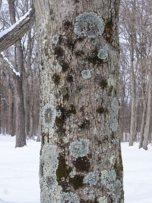 SRMP Maple Tree